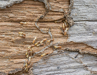 Termite Control Central FL: Non-Toxic Removal | Florida Bug Men - termite-control-wood(1)
